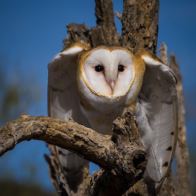 Fixated by Ed Mullins - Animals Birds ( desert museum, barn owl, owl, arizona sonora desert museum,  )