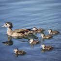 Wood Duck female and ducklings