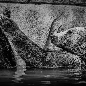 RonMeyers_BearBath_B&W-1.jpg