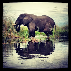 Xigera elephant by Molly Doerner - Animals Other ( , Africa, Safari )