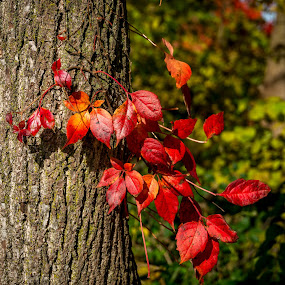 protagonist by Yu Tsumura - Nature Up Close Leaves & Grasses ( indiana, autumn leaves, tussock, afternoon, 2014, red leaves, beautiful, thicket, forest, leaves, usa, united states, red, nature, autumn, fall, outdoor, trees, bush, outside, color, colorful )