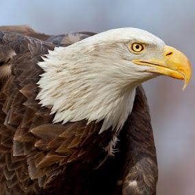 by Herb Houghton - Animals Birds ( wild, bird of prey, eagle, bald eagle, raptor, herbhoughton.com )