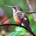 Magenta-Throated Woodstar female