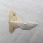 Lesser Maple Spanworm