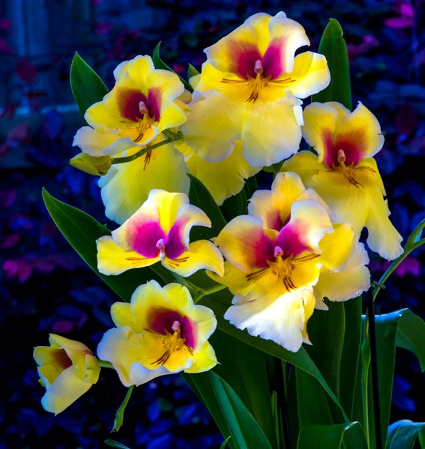 Miltonia Orchids by Richard Duerksen - Flowers Flower Gardens ( ca, lincoln, orchids, miltonia )