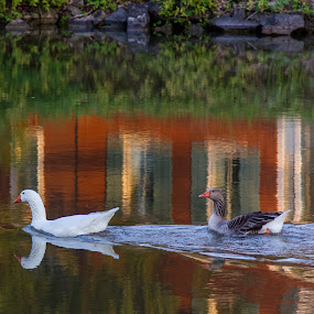 Picture perfect by Jim Anderson - Animals Birds ( water, ripples, ducks, reflections, close up )