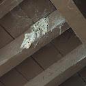 Organ Pipe Mud Dauber Nests