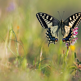 machaon by Melchiorre Pizzitola - Animals Insects & Spiders ( machaon/butterfly/nature/wildlife/italy, animal, butterfy )