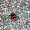 Red Velvet Ant (aka Cow Killer)