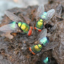 Banded Blowfly