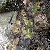 Aggregate anemone