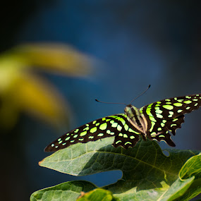 Green-spotted butterfly (Graphium agamemnon) by Subir Biswas - Animals Insects & Spiders ( insecta, green-spotted butterfly, tropical butterfly, butterfly, green )