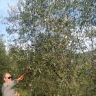 Maurino olive