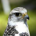 Halfbreed Gyrfalcon/Saker Falcon
