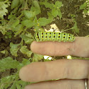 Black Swallowtail (larva)