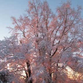 Sunrise Through Frozen Trees by Alan Hammond - Nature Up Close Trees & Bushes ( snowy trees, sunrise in trees, frozen trees, nature up close, trees & bushes, , golden hour, sunset, sunrise )