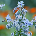 borage or starflower