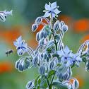 borage or starflower