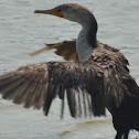 Double-crested Cormorant (immature)