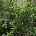 Gooseberry Bush