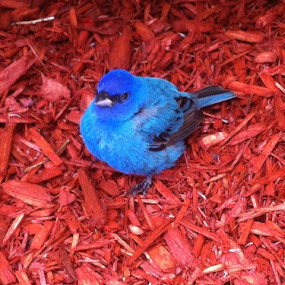 A baby Blue Indigo Bunting chilling out on the sidewalk at work! by Jolene Tirado - Animals Birds