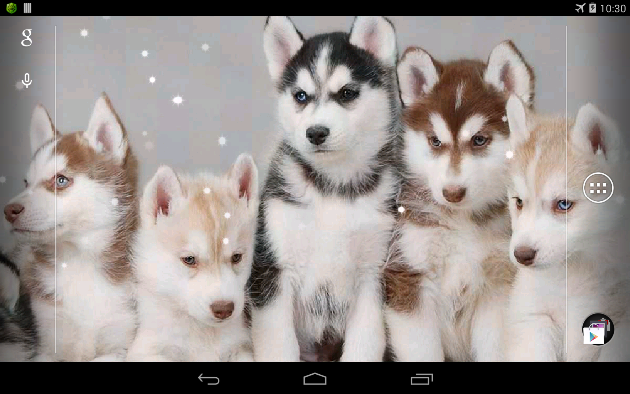 Husky Live Wallpaper Apl Android Di Google Play