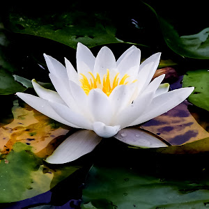 IMG_1560 Water Lily.jpg
