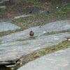 Common Chaffinch (Σπίνος)