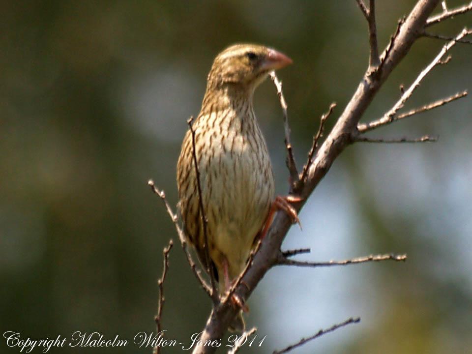 Yellow-crowned Bishop, female