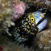 Snowflake Moray Eel, Starry Moray Eel