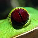 Tarsier frog / Rana lémur