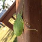 Green Crested Katydid