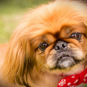 Teddy  by Mareli Victor - Animals - Dogs Portraits (  )