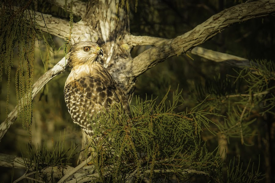 Pay-Ha-Yokee morning watch by Miguel Lopez - Animals Birds ( nature, everglades, birds )