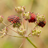 Chinche (Shield bug)