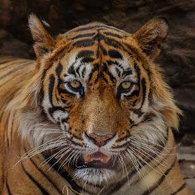 Royal Bengal Tiger by Avtar Singh - Animals Lions, Tigers & Big Cats ( tiger )
