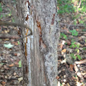 White-tailed deer antler rub on spruce tree