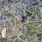 Spider - Trapdoor Spider