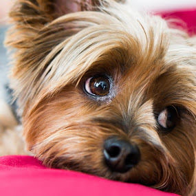 cotemplation by Christopher Wu - Animals - Dogs Portraits ( resting, couch, yorkie, yorkshire terrier, lying down, terrier, dog, #GARYFONGPETS, #SHOWUSYOURPETS,  )