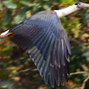 Wooly Necked Stork