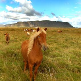 My beautiful Ísold by Anna Guðmundsdóttir - Animals Horses ( mare, ísold, iceland, íslenski hesturinn, icelandic horse, horse, hestur,  )