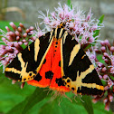 Jersey Moth