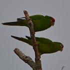 Crimson-fronted Parakeet/Finsch's Conure