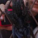 Sulawesi Black Tarantula