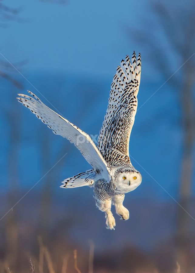 Snowy Owl (Bubo scandiacus) by Tim Harding - Animals Birds ( field, minesing wetlands, winter, canada, barn_owls_typical_owls, simcoe county, wildlife, ontario, snowy owl, birds, in flight, bird, fly, flight,  )