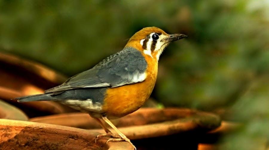 Orange headed ground thrush by Prasanna Bhat - Animals Birds