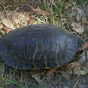 Turtle Florida Cooter