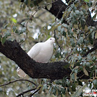 Feral Pigeon (White morph)