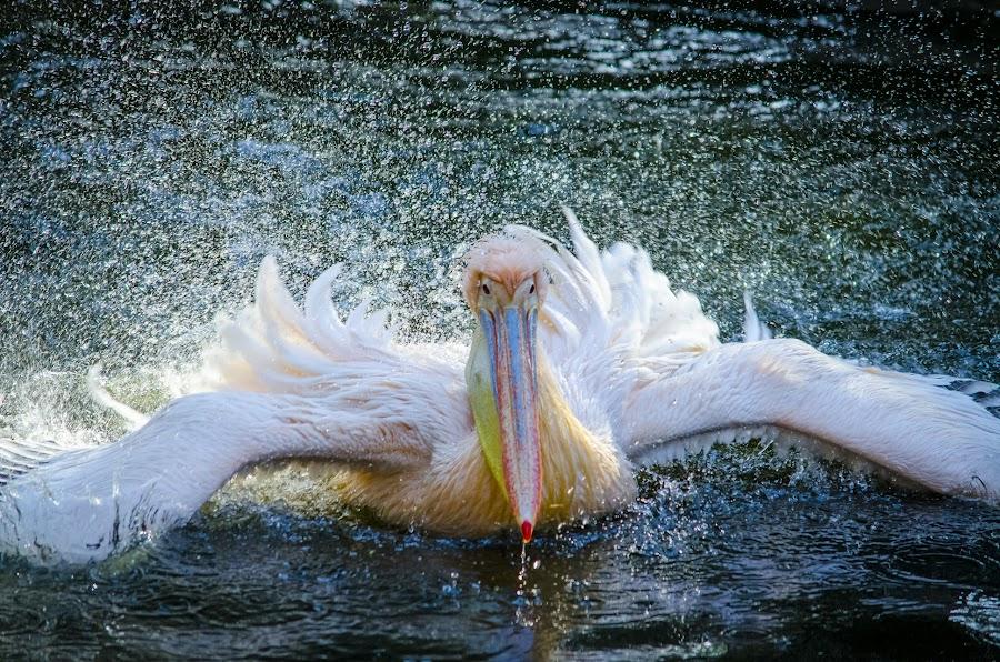 Pelican by Mina Jaguar - Animals Birds (  )