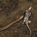 Plumbeous water snake